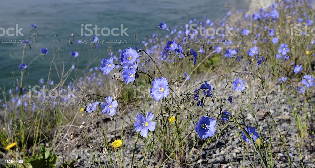 Wild Flax Flowers stock photo