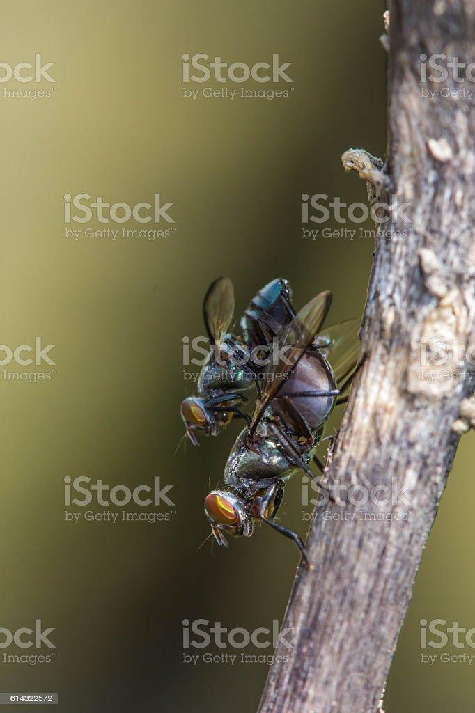 Wild flies mating.(Lispe tentaculata) stock photo