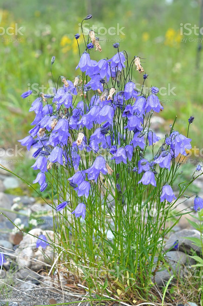 Wild flower - Canterbury bells (campanula). stock photo