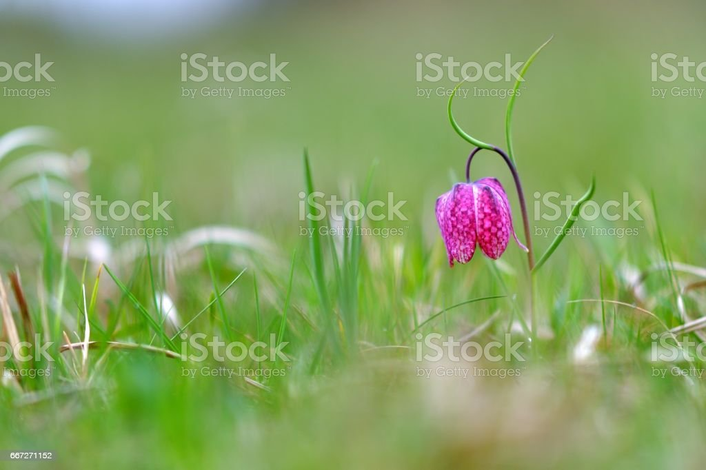 Wild flower, chess flower, frog-cup. Fritillaria meleagris stock photo