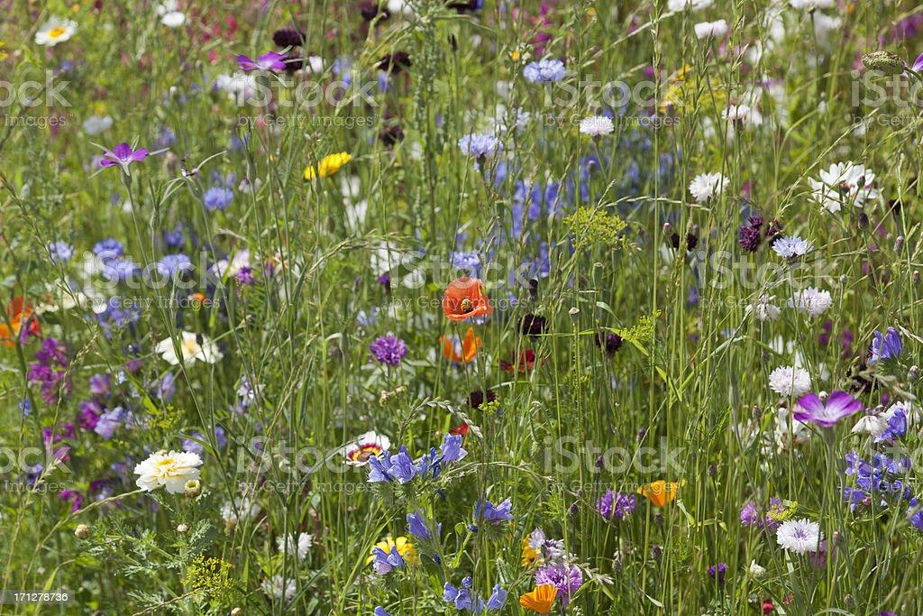 wild flower field royalty-free stock photo
