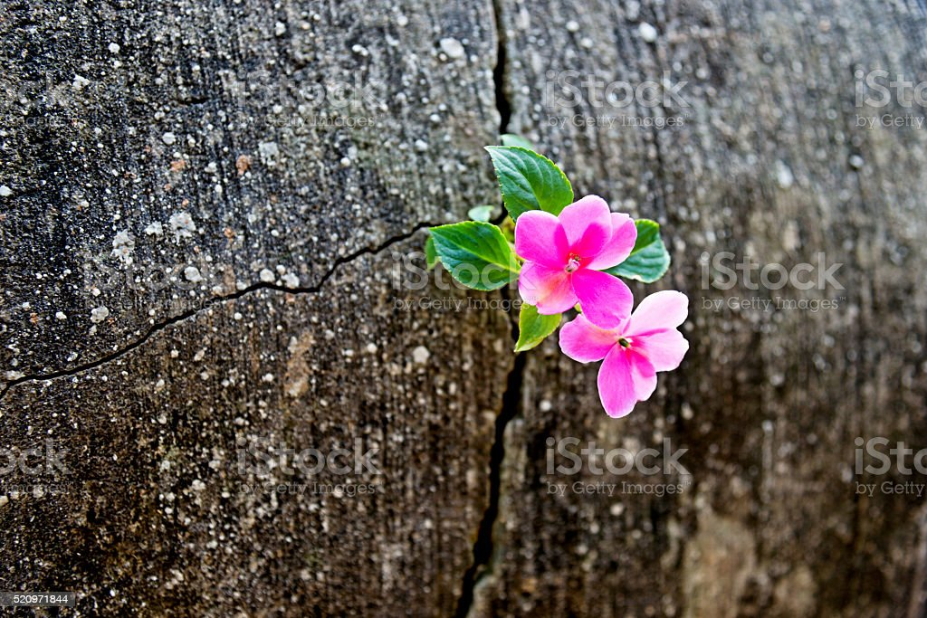 Wild flower growing out of concrete cracked stock photo