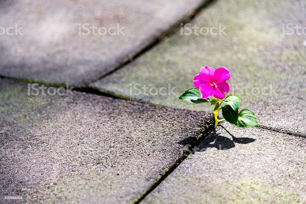 Wild flower growing out of tiled pavement stock photo