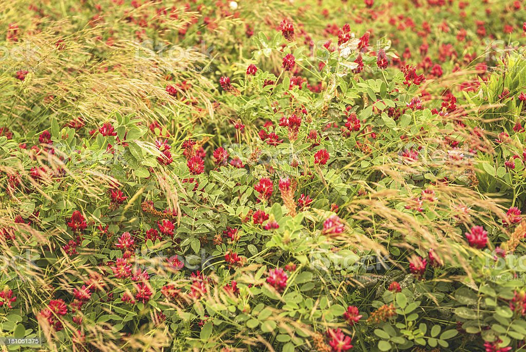 wild flower in the nature royalty-free stock photo