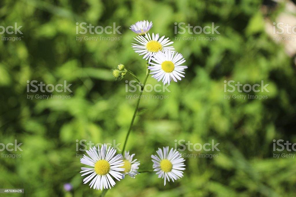 Wild flower like a daisy royalty-free stock photo