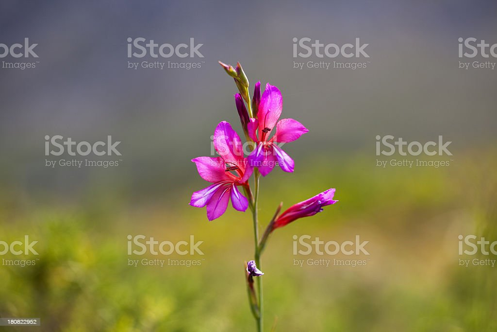Wild Flower (Gladiolus), Majorca, Spain stock photo