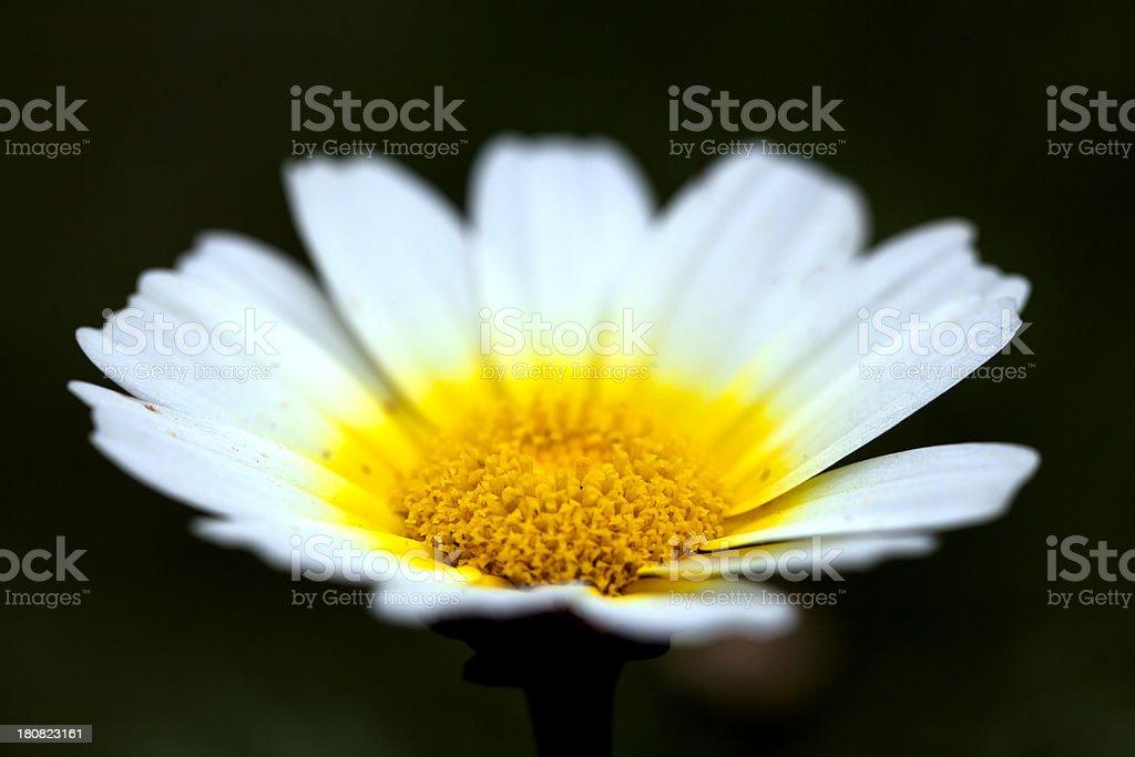 Wild Flower (Chrysanthemum coronarium), Majorca, Spain stock photo
