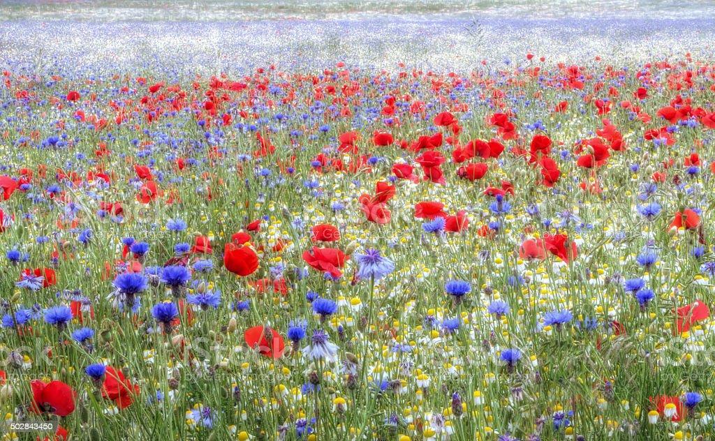 Wild flower meadow - Hertfordshire stock photo