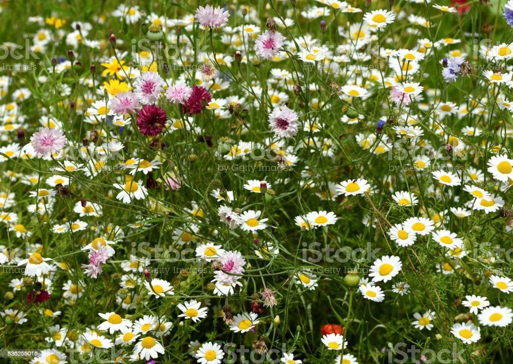 Wild flower meadow stock photo
