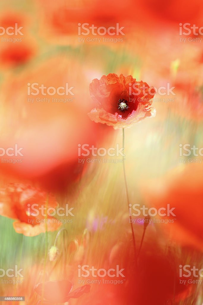 Wild flower meadow with selective focus on poppy stock photo