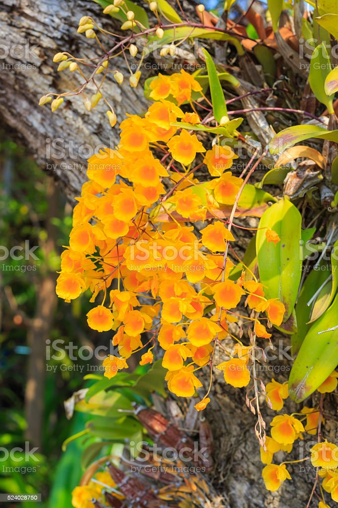 wild flower orchid,Dendrobium lindleyi Steud stock photo