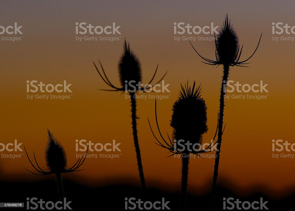 Wild flower sunset stock photo