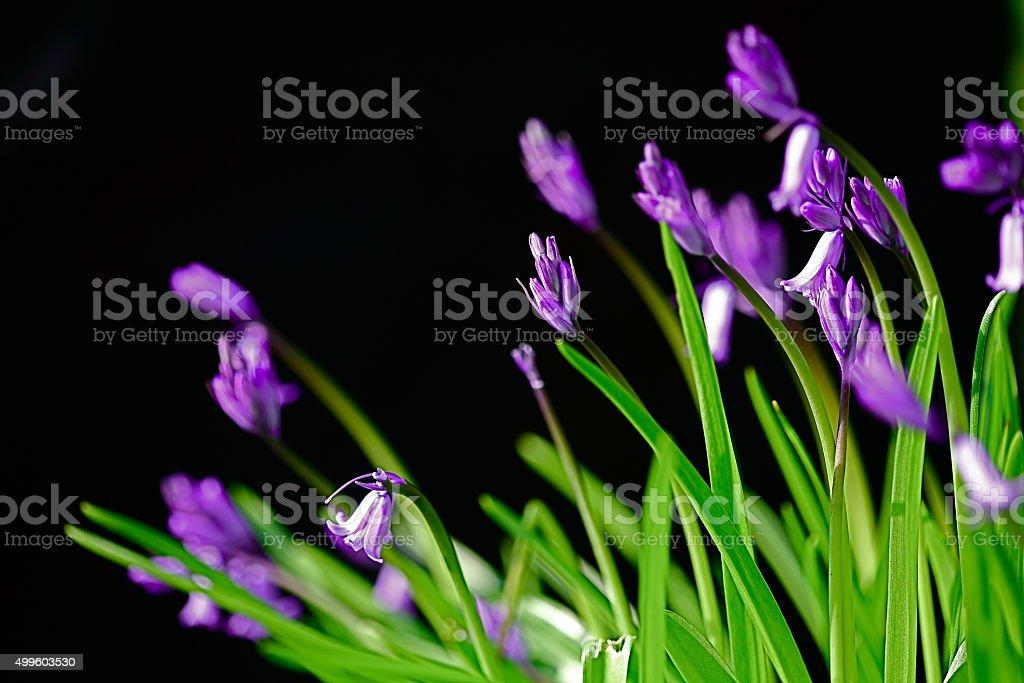 wild flower, violet wild flower, purple wild flower black backgroud stock photo
