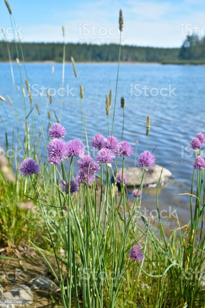 Wild flowers against the background of the northern river. stock photo
