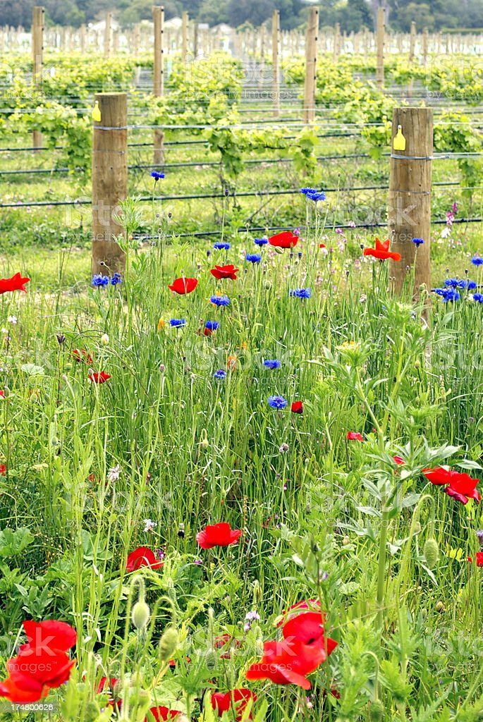 Wild flowers along the edge of a vineyard royalty-free stock photo