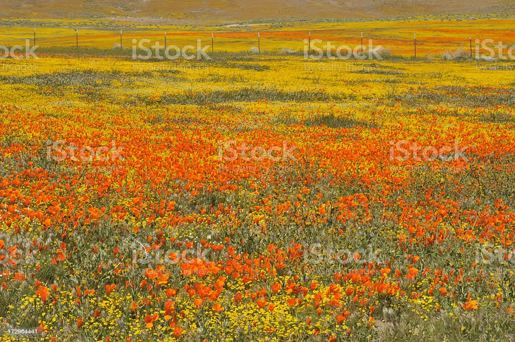 Wild Flowers and Fence royalty-free stock photo