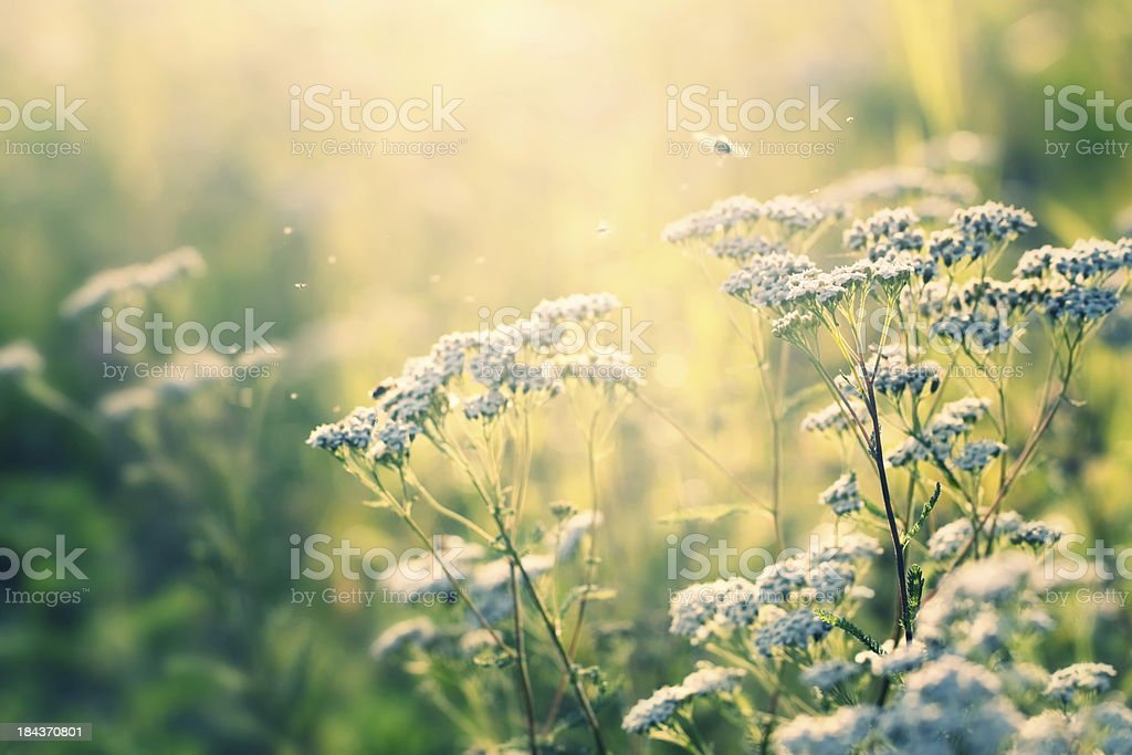 Wild flowers and little insects in sunset stock photo