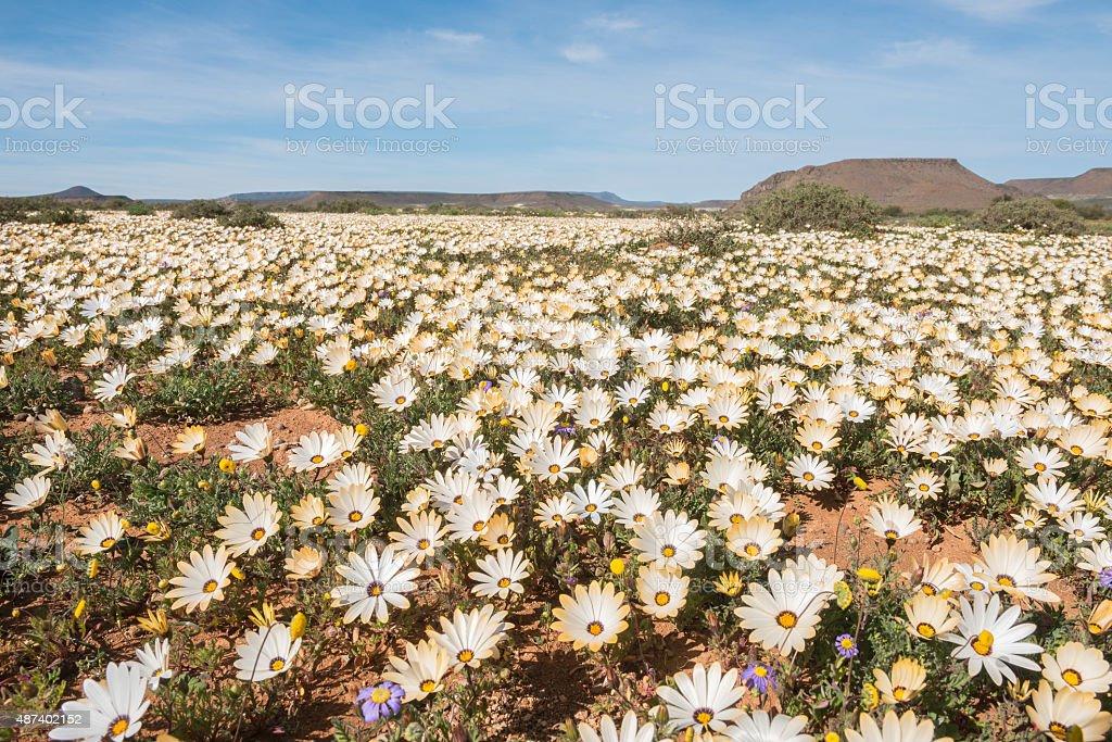 Wild flowers at Gannabos near Nieuwoudtville stock photo