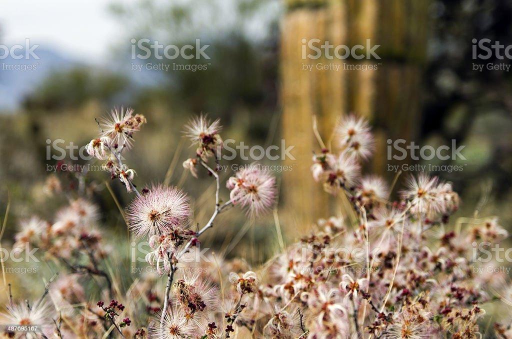 Wild Flowers at Saguaro National Park, Tucson, Arizona royalty-free stock photo