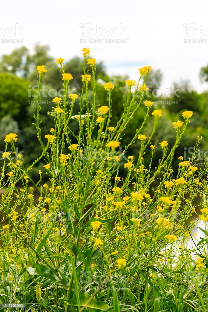wild flowers at summer day with river background stock photo