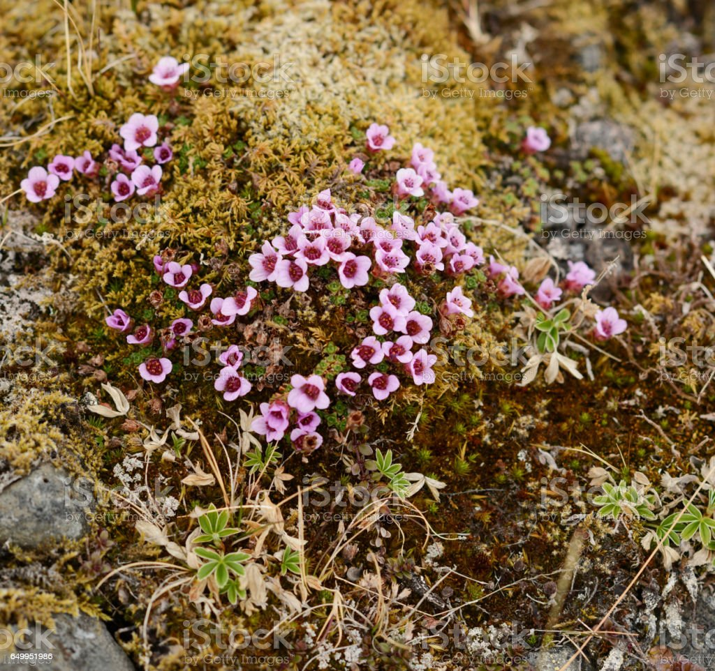 Wild flowers blooming in the Icelandic tundra stock photo