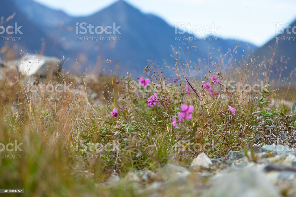 Wild flowers blooming in tundra stock photo