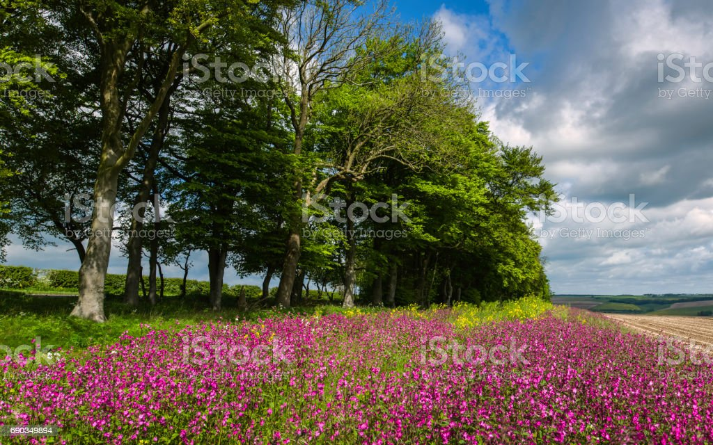 Wild flowers bordering farmland in the Yorkshire Wolds. stock photo