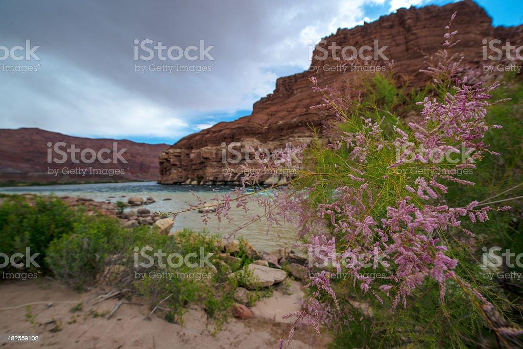 Wild Flowers Colorado River at Lees Ferry Arizona Landscape stock photo
