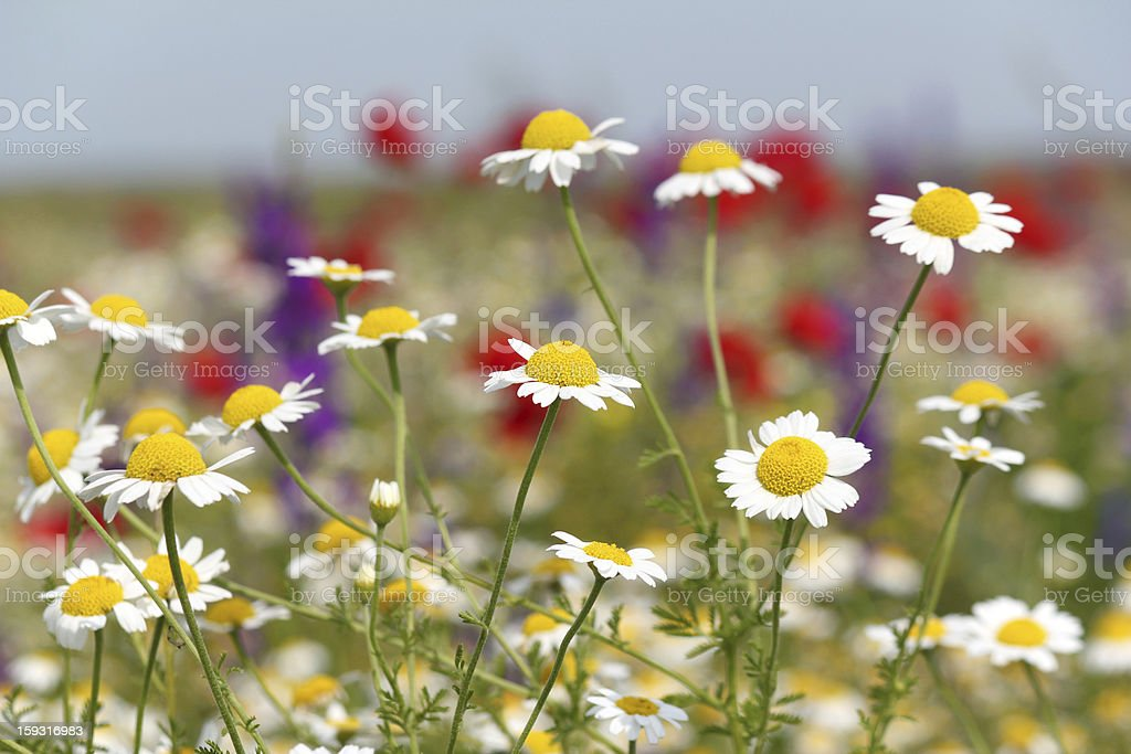 wild flowers field nature spring scene royalty-free stock photo