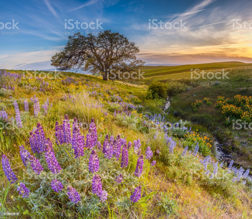 Wild flowers filed and dramatic sunset in Columbia hills state park, Washington with mount Hood in the background stock photo