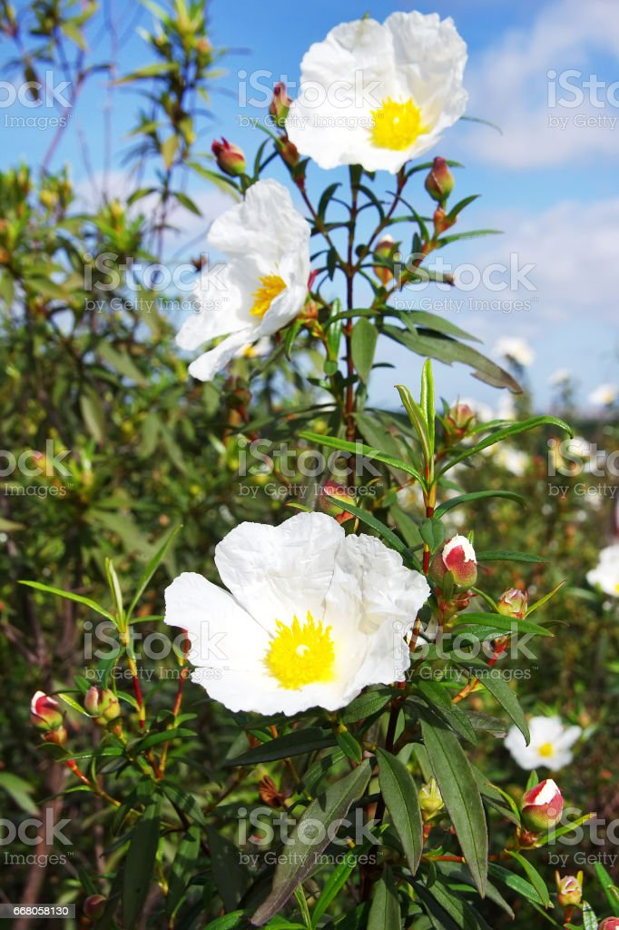 Wild flowers, Gum rockrose stock photo