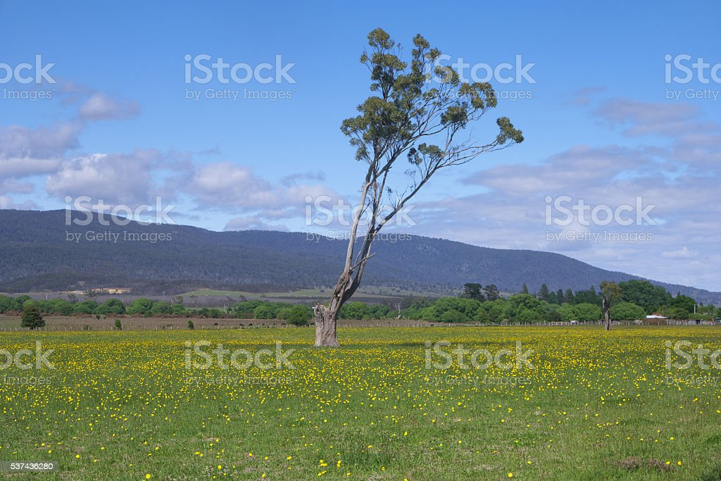 wild flowers gum tree farm land pyengana tasmania stock photo