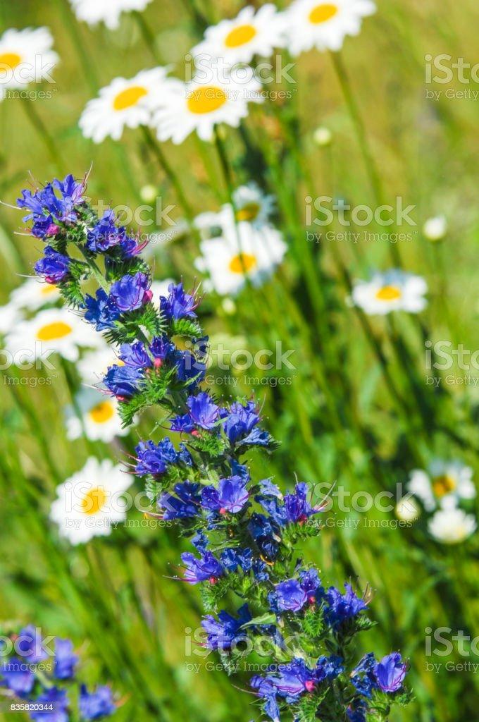 wild flowers honey. Beautiful meadow with wild flowers. stock photo