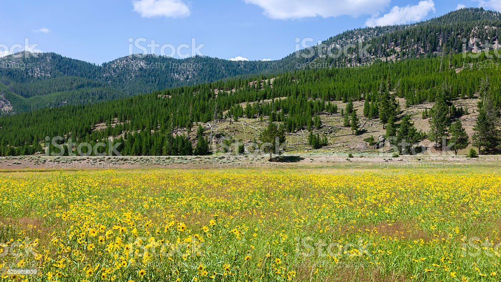 Wild flowers in bloom, Yellowstone, Wyoming, USA. stock photo