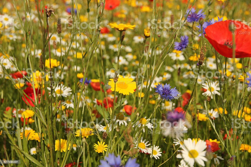 Wild flowers in meadow stock photo