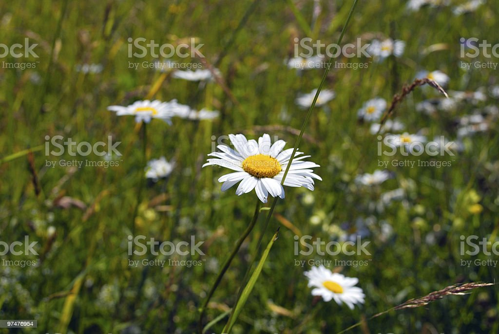 Wild flowers in mountains royalty-free stock photo