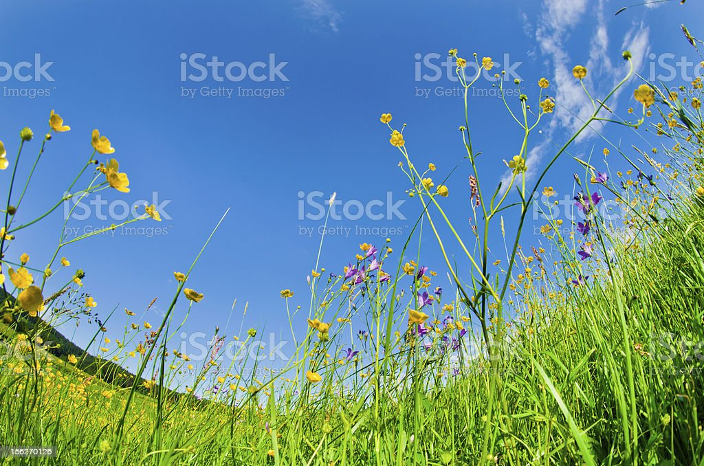 Wild flowers in the grass royalty-free stock photo