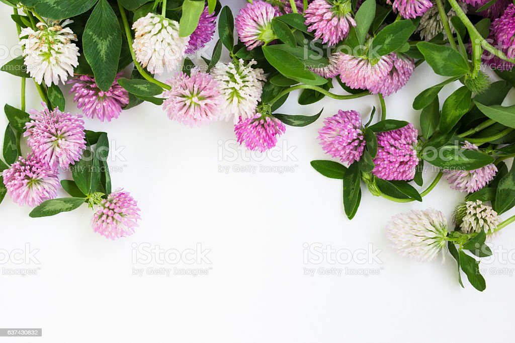 Wild flowers of clover on white background stock photo