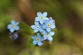 Wild Forget-me-nots