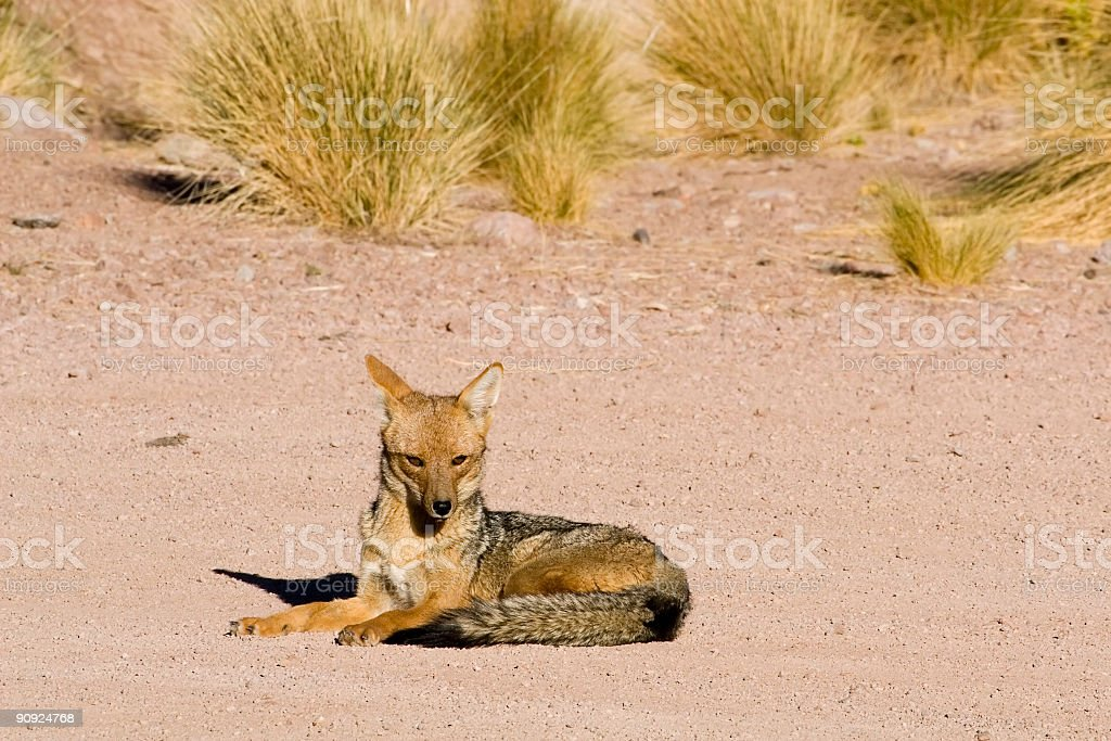 Wild Fox in the Andes stock photo