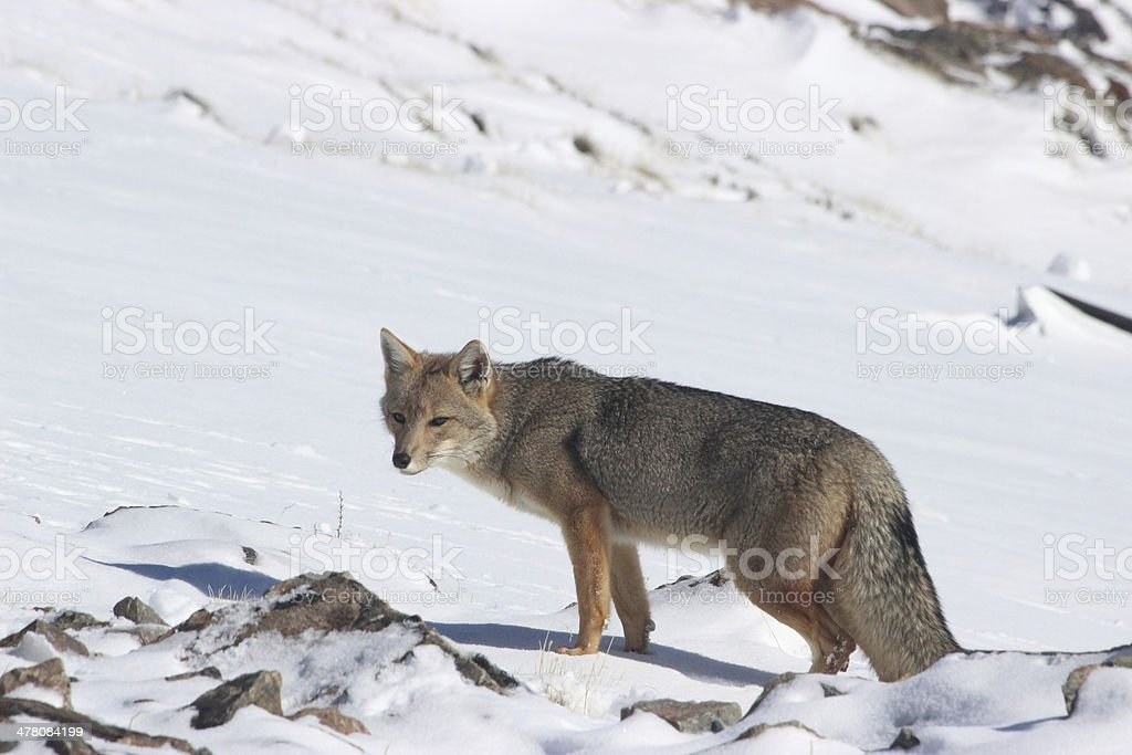 Wild Fox looking for food at Andes - Patagonia Argentina royalty-free stock photo