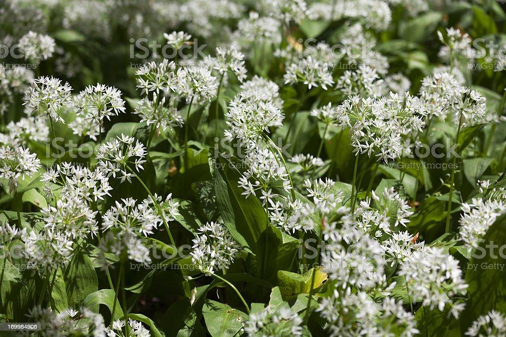 Wild garlic - Allium ursinum royalty-free stock photo