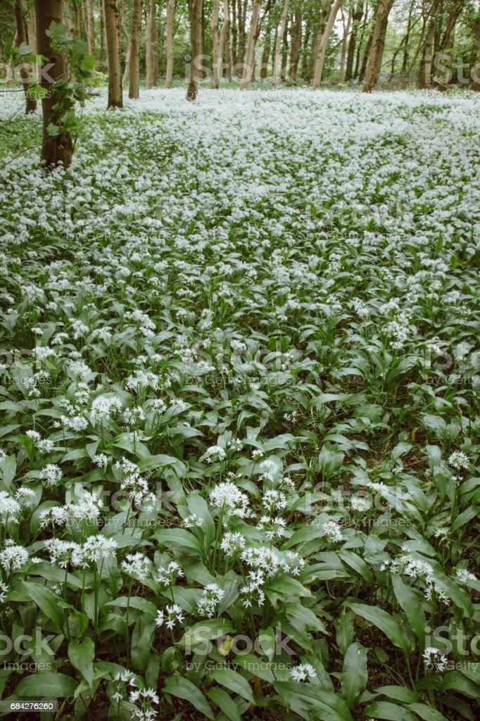 Wild Garlic Flowering in a Scottish Forest stock photo
