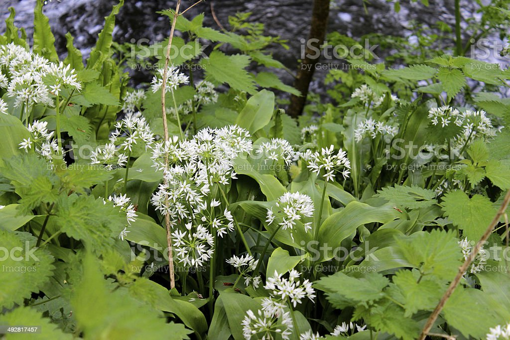 Wild garlic in flower, growing in countryside by stinging nettles stock photo