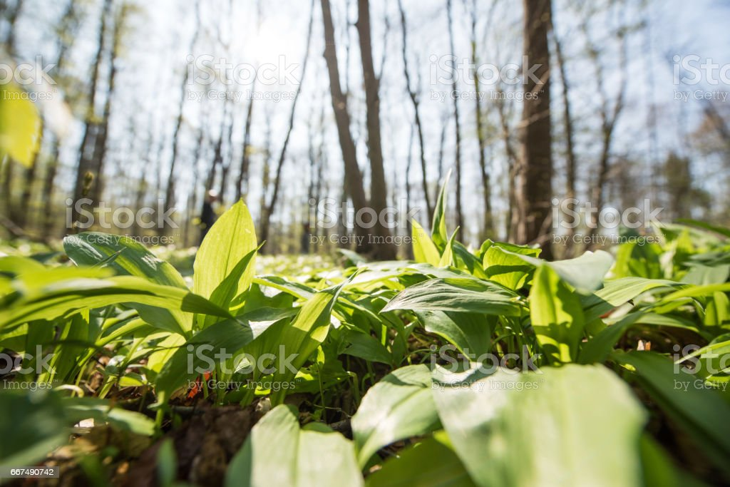 Wild garlic in the wood, Germany, Europe stock photo