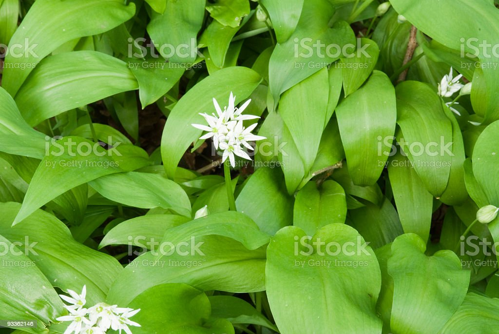 Wild garlic (Allium Ursinum) with white flower stock photo
