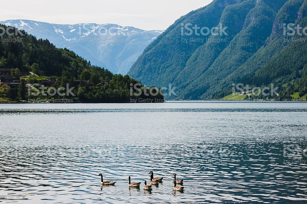 Wild geese in the fjord Hardanger, Ulvik, Norway stock photo