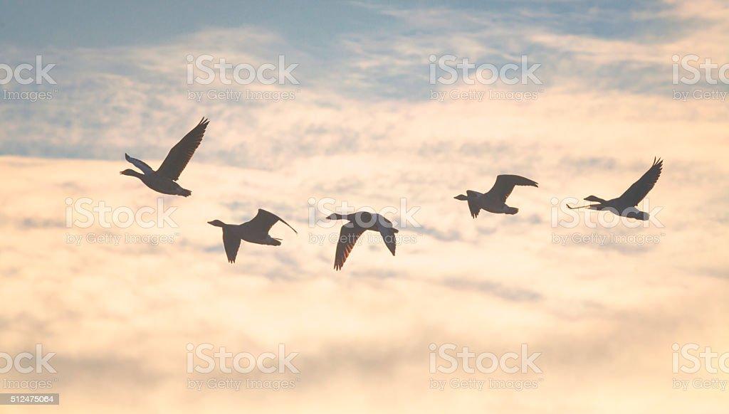 Wild geese stock photo