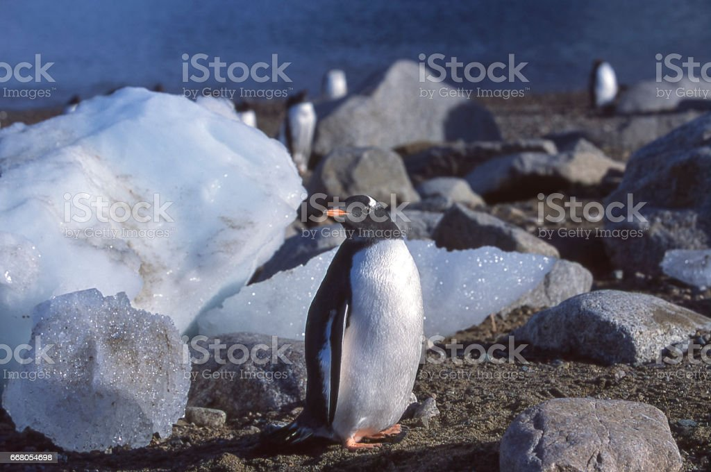 Wild Gentoo Penguins Standing on the Shore stock photo