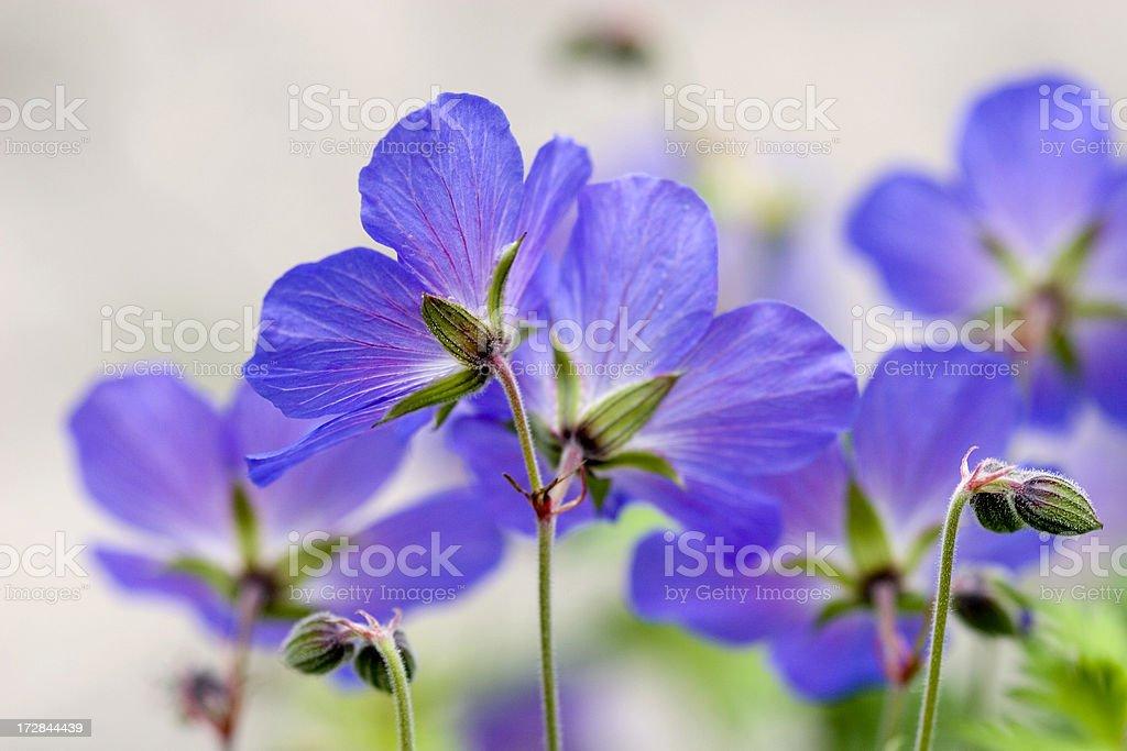 Wild Geranium stock photo